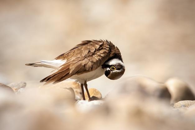 Weinig geringde plevier die zijn veren schoonmaakt en zich op rotsen in aard bevindt