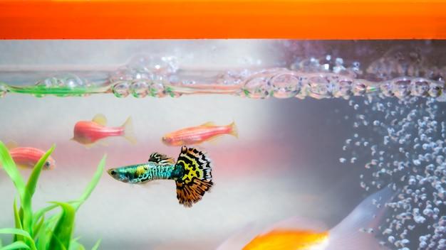 Weinig guppy vis in aquarium of aquarium