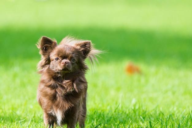 Weinig hond die op het gras ligt