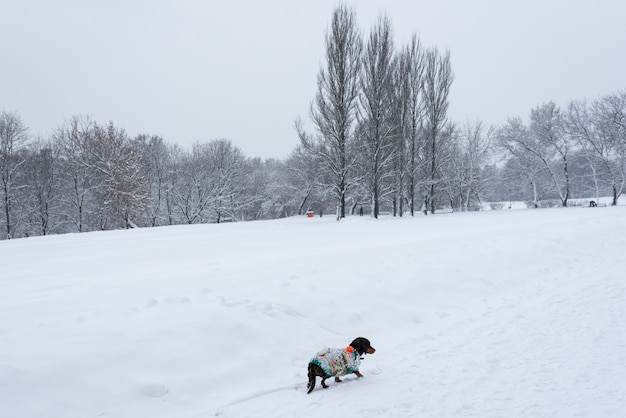 Weinig hond in de sneeuw. winter hond.