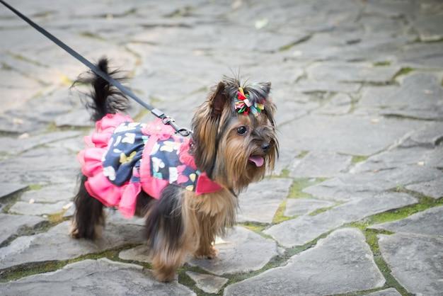 Weinig hond in kleding voor een wandeling.