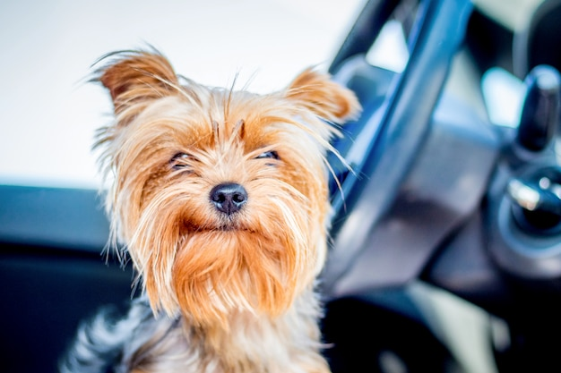 Weinig hond van ras yorkshire terrier in autocabine dichtbij het wiel dat op de eigenaar wacht