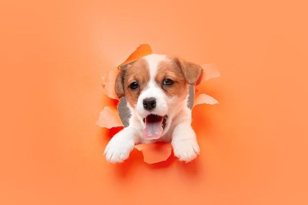 Weinig jonge hond vrolijk poseren.