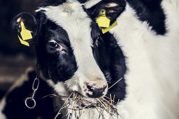 Weinig kalf op boerderij close-up, dierenleven op de boerderij