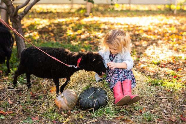 Weinig krullend blondemeisje in denimjasje en roze laarzen die op het stro zitten en zwarte binnenlandse schapen voeden. farmer's life concept