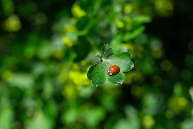 Weinig lieveheersbeestjezitting op een groen blad in de tuin