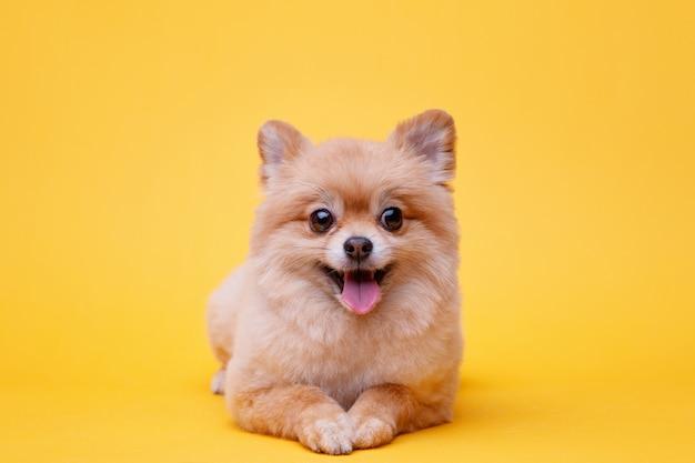 Weinig pluizig puppy van pomeranian spitz die op heldere gele achtergrond ligt