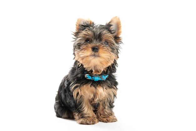 Weinig puppy van yorkshire terrier dat op witte achtergrond wordt geïsoleerd