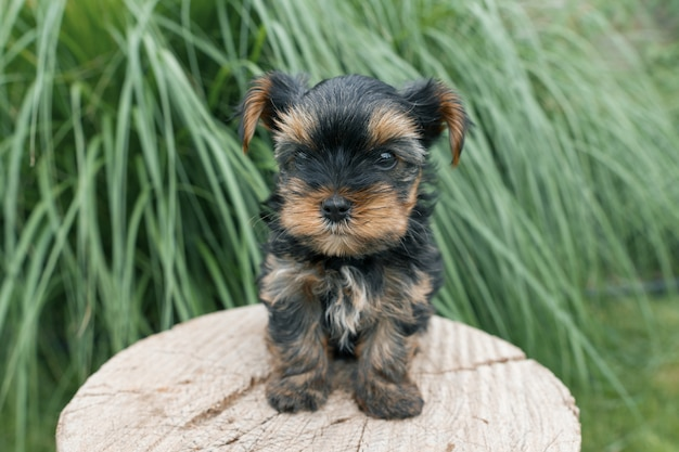 Weinig puppy yorkshire terrier die in aard, close-up stellen