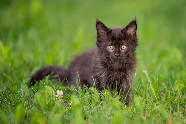 Weinig speels zwart maine coon-katje loopt op het groene gras.