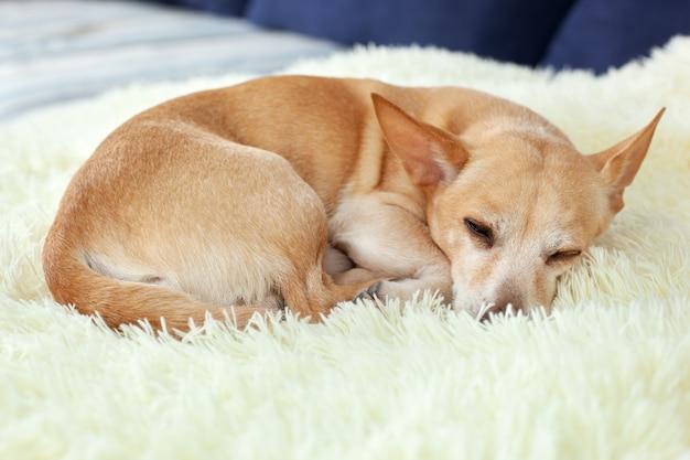 Weinig vermoeide of verveelde chihuahua-hondslaap op bank op een zonnige dag op deken, wacht de hond.