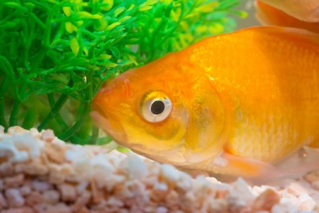 Weinig vis in aquarium of aquarium, goudvis, mooie karper