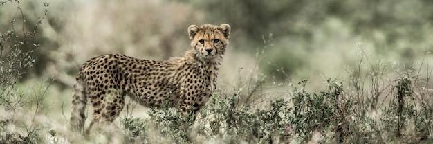 Welp cheetah in serengeti national park