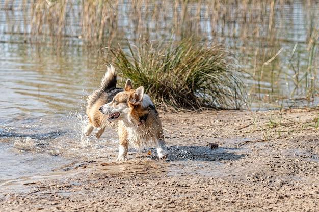 Welsh corgi-hond loopt op een zonnige dag op het zandstrand aan het meer
