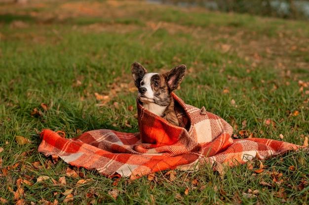 Welsh corgi-hond op herfst gele bladeren slijtage in plaid