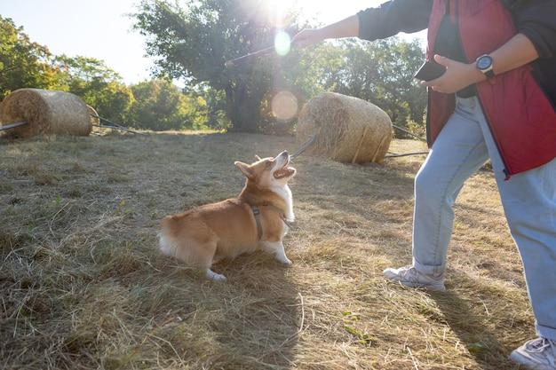 Welsh corgi pembroke-hond bereidt zich voor om op een zonnige dag buitenshuis naar een stok te springen. de eigenaar traint of speelt met een huisdier