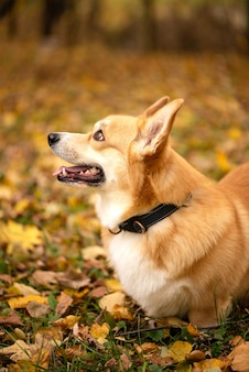 Welsh corgi pembroke hond close-up portret