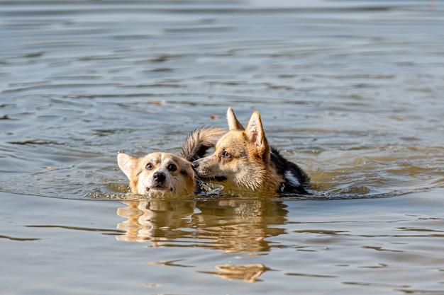 Welsh corgi pembroke-hond zwemt in het meer en geniet van een zonnige dag