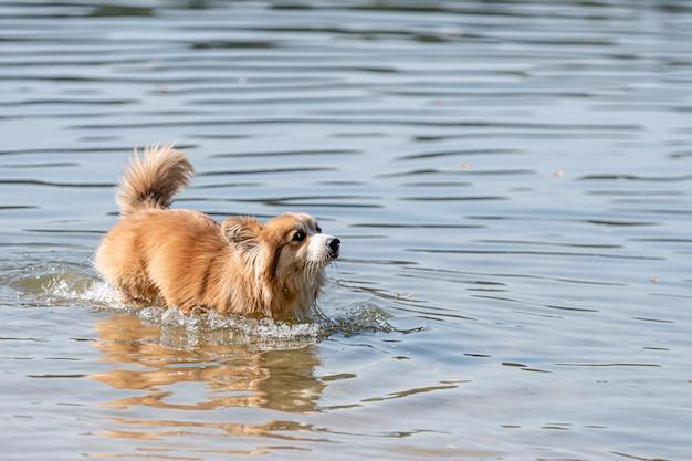 Welsh corgi pembroke pluizige hond spelen in het water op het strand