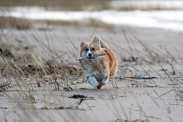 Welsh corgi pluizig loopt rond het strand en speelt met een stok