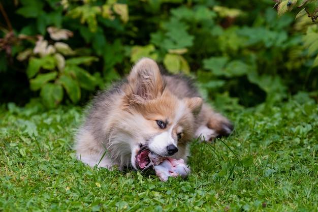 Welsh corgi-puppy die in een groen gras dichtbij een struik liggen en aan een been knagen - beeld