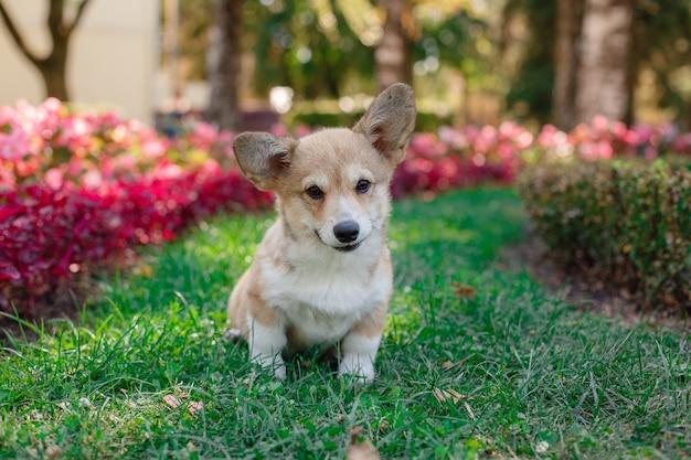 Welsh corgi-puppy op een wandeling in het park