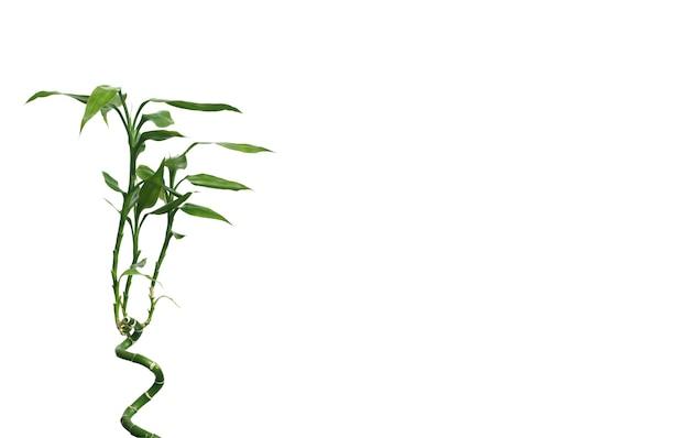 Wenskaart met groene decoratieve bamboeboom op spiraalvormige stam die links op witte achtergrond wordt geïsoleerd en rechts vrije ruimte voor tekst