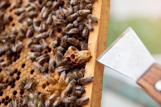 Werkende bijen op een frame met honingraten maken honing. bijen baarmoeder op de honingraat