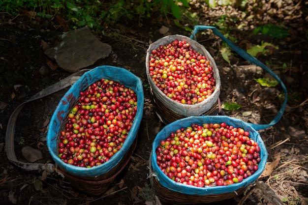 Werknemer harvest arabica koffie bessen op zijn tak, landbouw economie industrie bedrijf