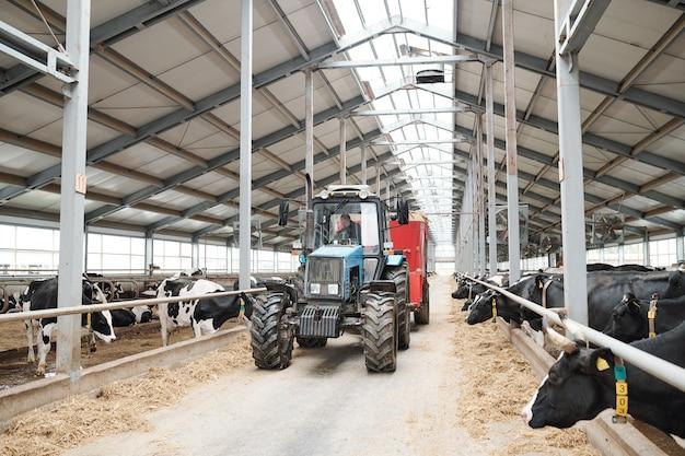 Werknemer van melkveebedrijf zittend in trekker en verplaatsen tussen twee lange stallen tijdens het werken in moderne boerderij