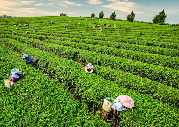 Werknemers in de velden oogsten de gewassen van een terrasvormige boerderij