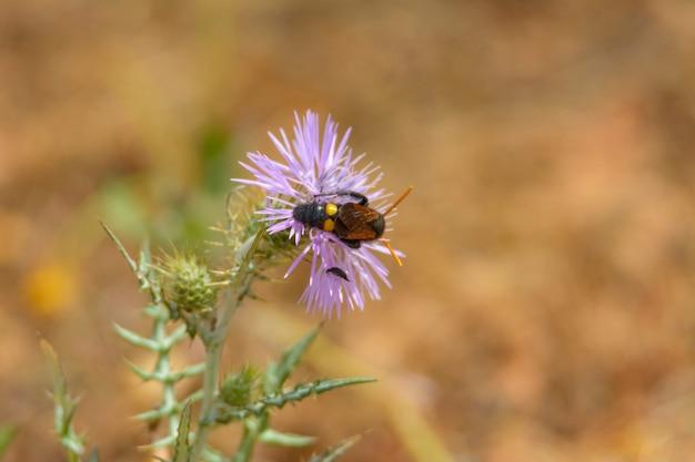 Wesp, bij (scolia hirta) die zich voedt met paarse bloem van een wilde distel