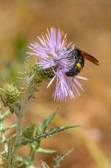 Wesp, gigantische zwarte bij (scolia hirta) die zich voedt met de bloem van een paarse wilde distel