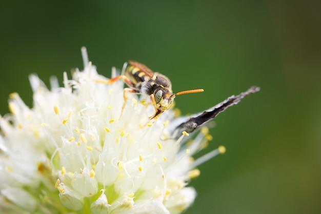 Wesp op een bloem macroschot
