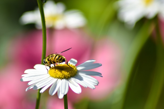 Wesp zit op een madeliefje in de tuin