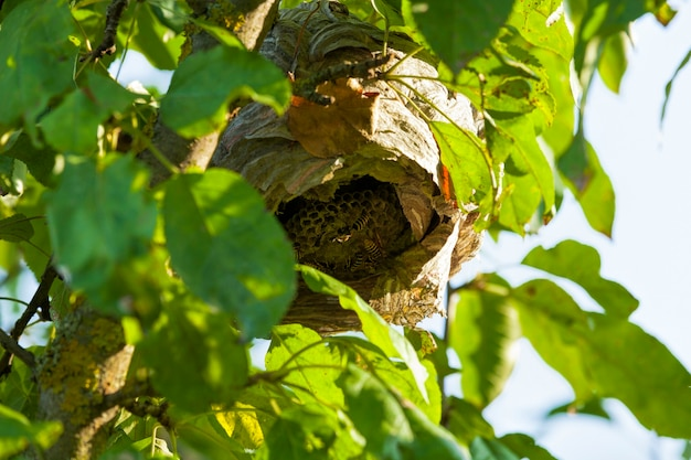 Wespenkorf gemaakt door wespen op een boom in de tuin, close-up van de huisvesting van wilde wespeninsecten