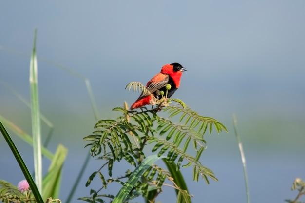 West african fire velvet weaver murchison falls national park oeganda afrika