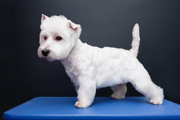 West highland terrier dog na gring in animal salon