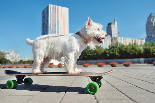 West highland terriër hond schaatsen op het lange bord in de stad
