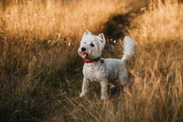 West highland white terrier hond staande in de herfst veld