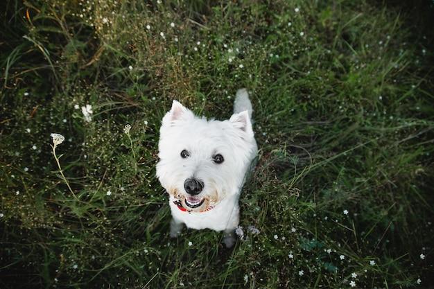 West highland white terrier hond zittend in het veld