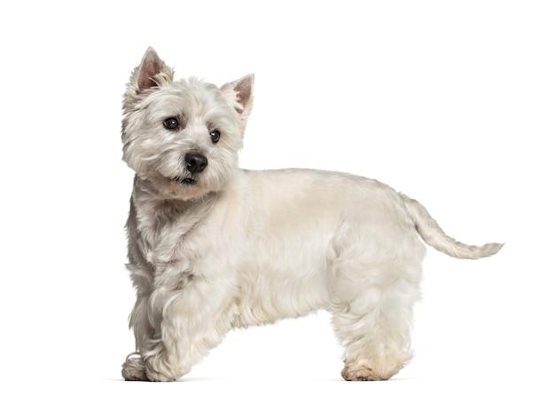 West highland white terrier staande tegen een witte achtergrond