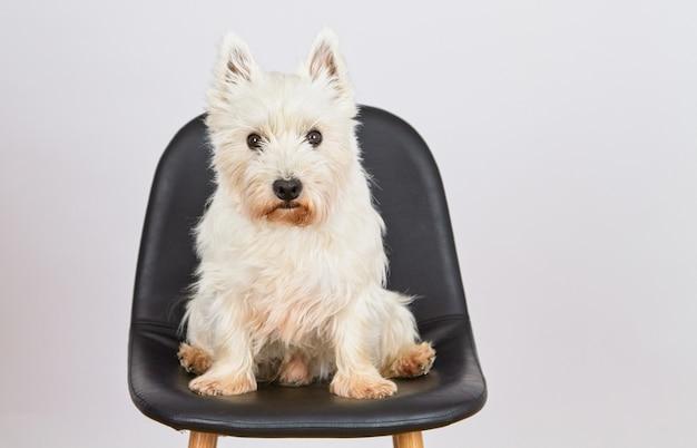 West hiland white terrier zit op een hoge stoel te wachten