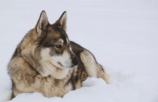 West-siberische husky rust in een sneeuwbank van witte koude sneeuw