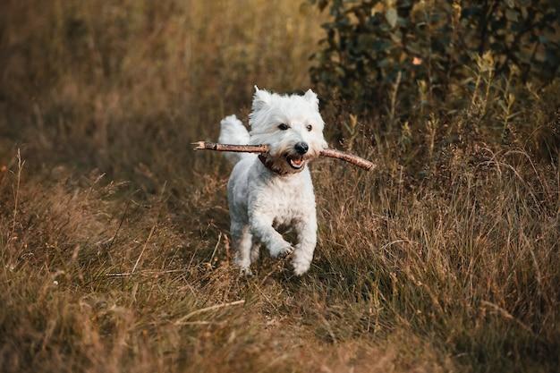 West terrier hond draait op het herfst veld met stok