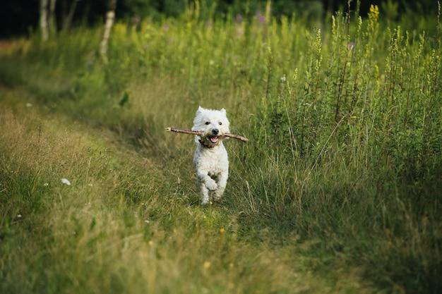 West terrier hond loopt in het veld met stok