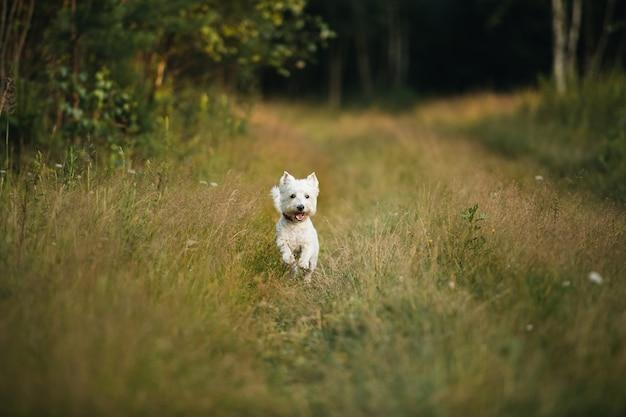 West terrier hond uitgevoerd in het veld