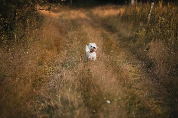 West terrier hond waarop de herfst veldpad met stok