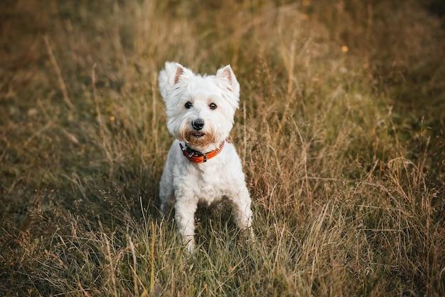 West terrier hond zit op gras