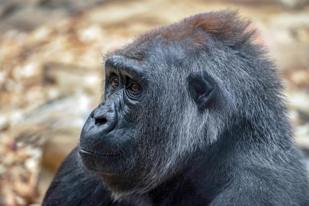 Westelijke laaglandgorilla (gorilla gorilla gorilla)